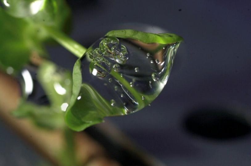Macro d'une goutte d'eau sur un plant de petit pois dans l'ISS