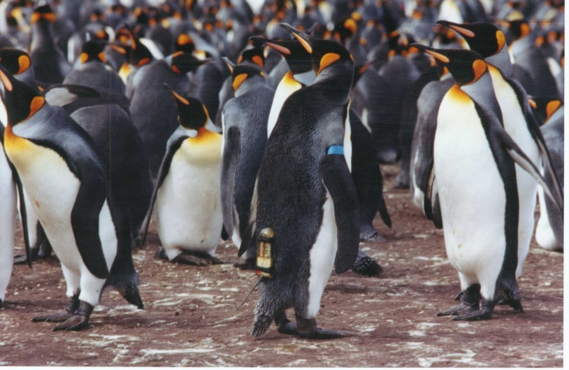 Des manchots royaux de l'Antarctique © CEBC/CNRS