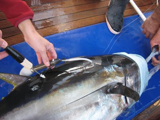 Pose d'une balise Argos sur un thon rouge - © IFREMER